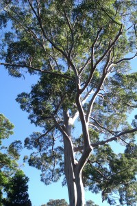 A gum tree in the world